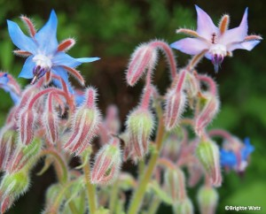 Agurkurt Borago officinalis blue