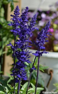 Ullsalvie Salvia farinacea 'Fairy Queen'
