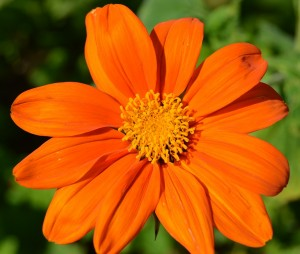 Mexican sunflower, Tithonia rotundifolia Torch