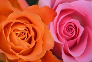 Vibrant colorplay of roses