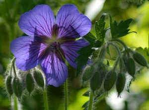 Cranesbill with more to tell