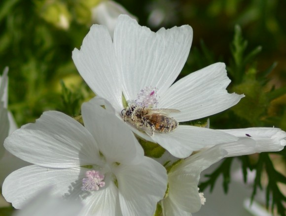 Honeybee having a pollen bath in Malva moschata Alba
