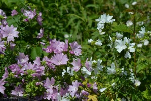Malva moschata pink and Alba