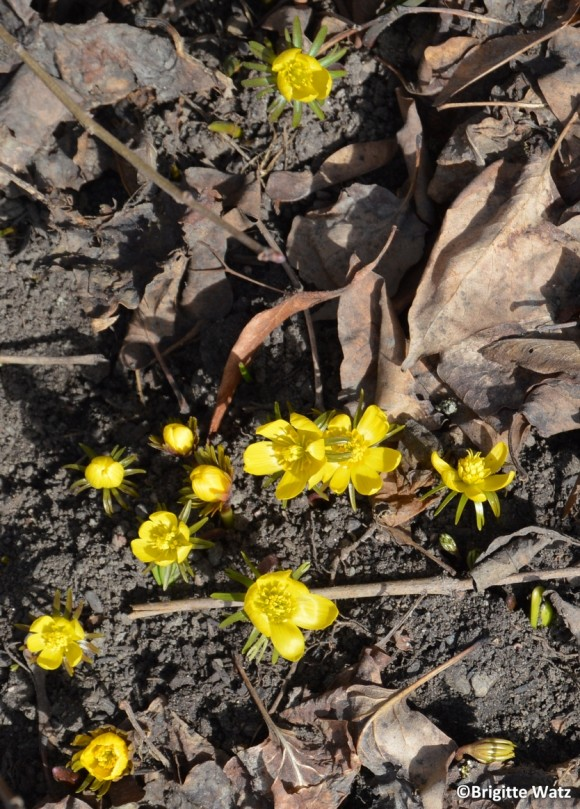 Eranthis hyemalis in the sun A