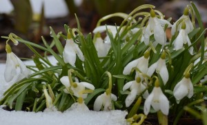 Galanthus nivalis setback but not beaten A