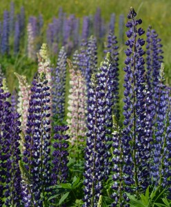 Lupinus dark blue and white1