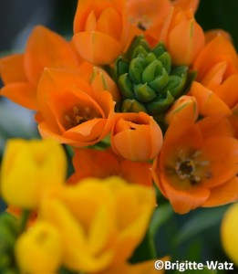Ornithogalum dubium orange and yellow