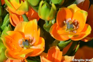 Ornithogalum dubium orange up close