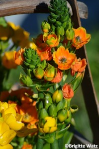 Solstjerne Ornithogalum dubium orange in full sun
