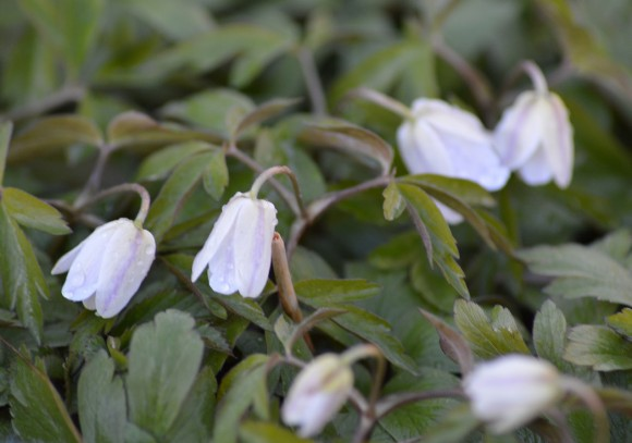 Anemone nemorosa in cold spring weather