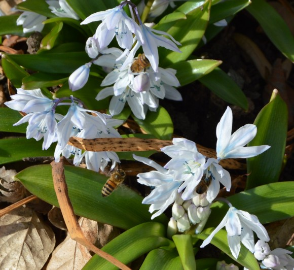 Puschkinia scilloides with bees in spring